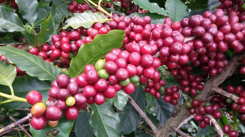 กาแฟเชอรี่ 2